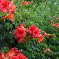 6月22日(水)雨上り、草花を見ながら、朝の散策