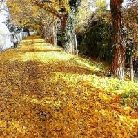 イチョウ落ち葉のさんぽ道