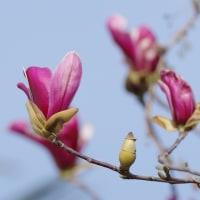 咲き出した紫木蓮(シモクレン)