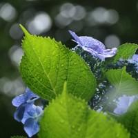 ★雨が似合う花・・・あじさい