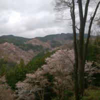 「一目千本」吉野桜