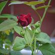 今日のバラは・・・・