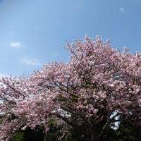 4/24花日記:宗像市:鎮国寺の八重桜&ツツジ