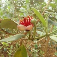 フェイジョア開花