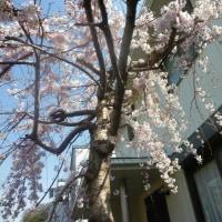ご近所の しだれ桜