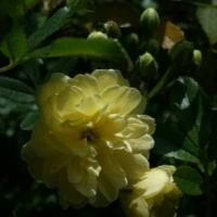 モッコウバラ咲く