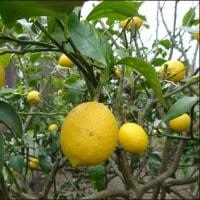 大寒のレモンと大寒たまご