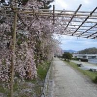 桜散る京都の夜は「ミハル・カニュカ」のチェロで