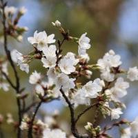 サクラ、他、木の花ばかり