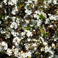 ユキヤナギの季節です…多摩川春景色シリーズ