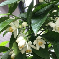 甘夏ミカンの花
