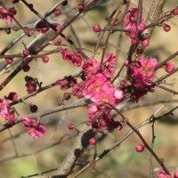 春を告げる花、サンシュウが開花しました