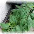 越冬した ひとり生えのトマトの実が大きくなってきました。、