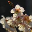 1355.3-我が家の桜2 2012.03.21.