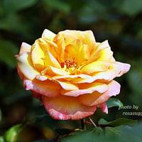 フィリップ ノワレ     名優の名前のバラ
