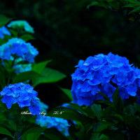 花ある風景~あじさい~