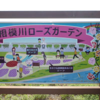 相模川クリーンキャンペーンに参加し、ローズガーデンのバラを見てきた。