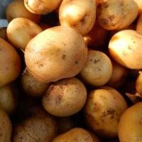 今年のジャガイモは不作でした。(涙)