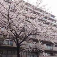 雨 桜 せっかくの満開の週末ですが…