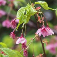 桜が咲いて鳥が鳴く! 雨の中山法華経寺
