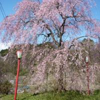 4/21 桜の開花状況