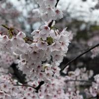 たのしい万葉集 桜を詠んだ歌(大伴池主の歌)