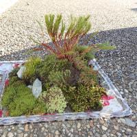 コケ盆栽:子供たちの作品:ウマスギゴケ・コスギゴケ・ミノゴケ・ヒメジャゴケ・ネズミノオゴケ・フデゴケなどを使っています。