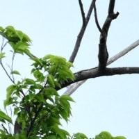 カッコウとオオヨシキリ