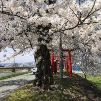 東根市:堂の前公園・白水川堤防・豊作稲荷神社の桜