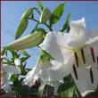 庭のカサブランカ・リリー2本