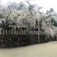 樹齢500年以上のしだれ桜
