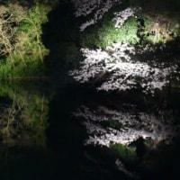 夜桜見てきました