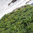 唐松岳の周辺の植物:ミヤマキンホウゲ・ハクサンイチゲ・コバイケイソウ
