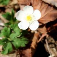 長野県佐久市の佐久荒船高原は、初春を迎え、地面ではウバユリが芽吹いています