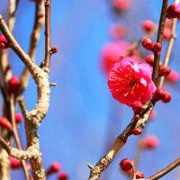 散歩道の風景・・・梅の花