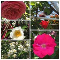 藤、バラ〜香椎花園