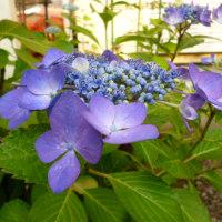ガク紫陽花の目覚め