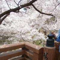 2017・桜だより⑤ 高遠城址公園(長野県伊那市)