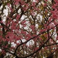 平良幸春花の写真集 ☆沖縄県うるま市大田バンタのカンピサクラ
