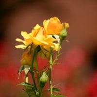 バラは小さめが好きです