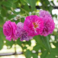 紫陽花の季節・・・♪(^_^*