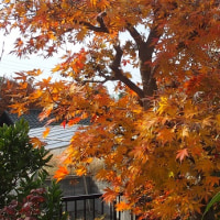庭のカエデが紅葉しました