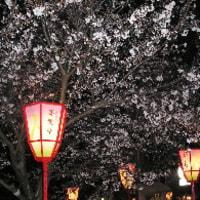 5分咲きの兼六園の夜桜