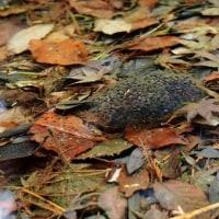 おや、長谷池にこんなものが、そしてヤマアカガエルの卵