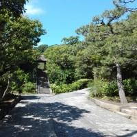 「東慶寺」のイワガラミ