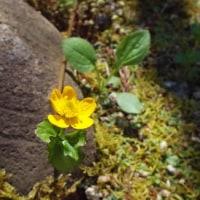 小さい花に注目 大阪府立花の文化園 170428