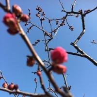 梅が咲いていた