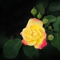 華麗な薔薇たち Ⅲ