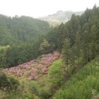 今熊山のミツバツツジ