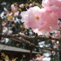 桜期間限定!メニュー